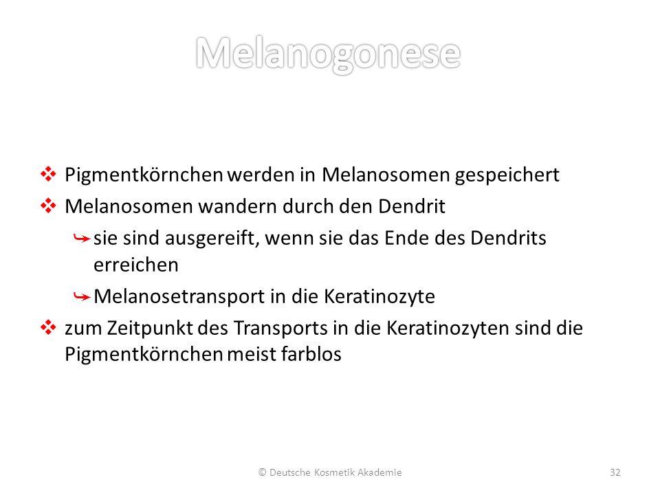 ❖ Pigmentkörnchen werden in Melanosomen gespeichert ❖ Melanosomen wandern durch den Dendrit ➥ sie sind ausgereift, wenn sie das Ende des Dendrits erre