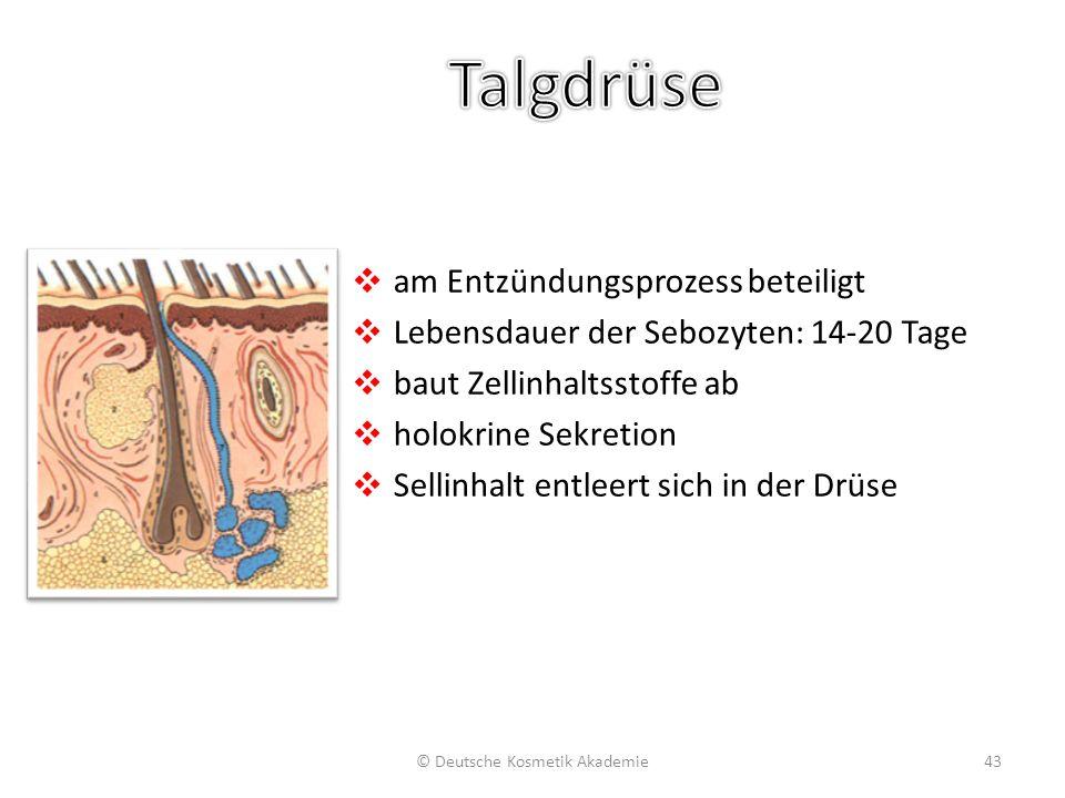 ❖ am Entzündungsprozess beteiligt ❖ Lebensdauer der Sebozyten: 14-20 Tage ❖ baut Zellinhaltsstoffe ab ❖ holokrine Sekretion ❖ Sellinhalt entleert sich