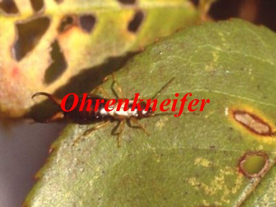 Es gibt nur wenige Insekten, denen ohne Grund rein gefühlsmäßig mit derartiger Ablehnung oder sogar Abscheu begegnet wird, wie den Ohrwürmern oder Ohrenkneifern.