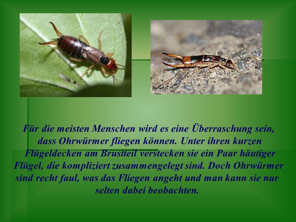 Für die meisten Menschen wird es eine Überraschung sein, dass Ohrwürmer fliegen können. Unter ihren kurzen Flügeldecken am Brustteil verstecken sie ei