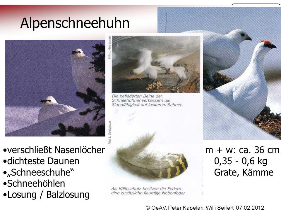 """© OeAV, Peter Kapelari; Willi Seifert 07.02.2012 Alpenschneehuhn verschließt Nasenlöcher m + w: ca. 36 cm dichteste Daunen 0,35 - 0,6 kg """"Schneeschuhe"""