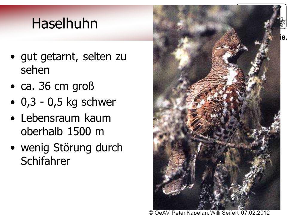 © OeAV, Peter Kapelari; Willi Seifert 07.02.2012 Haselhuhn gut getarnt, selten zu sehen ca. 36 cm groß 0,3 - 0,5 kg schwer Lebensraum kaum oberhalb 15
