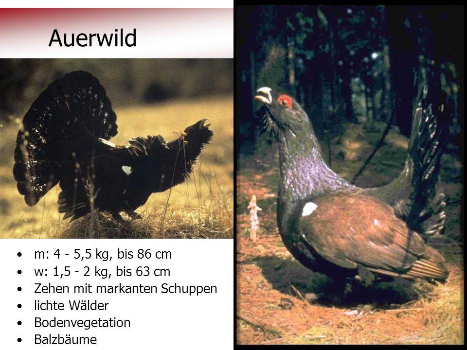 © OeAV, Peter Kapelari; Willi Seifert 07.02.2012 Auerwild m: 4 - 5,5 kg, bis 86 cm w: 1,5 - 2 kg, bis 63 cm Zehen mit markanten Schuppen lichte Wälder