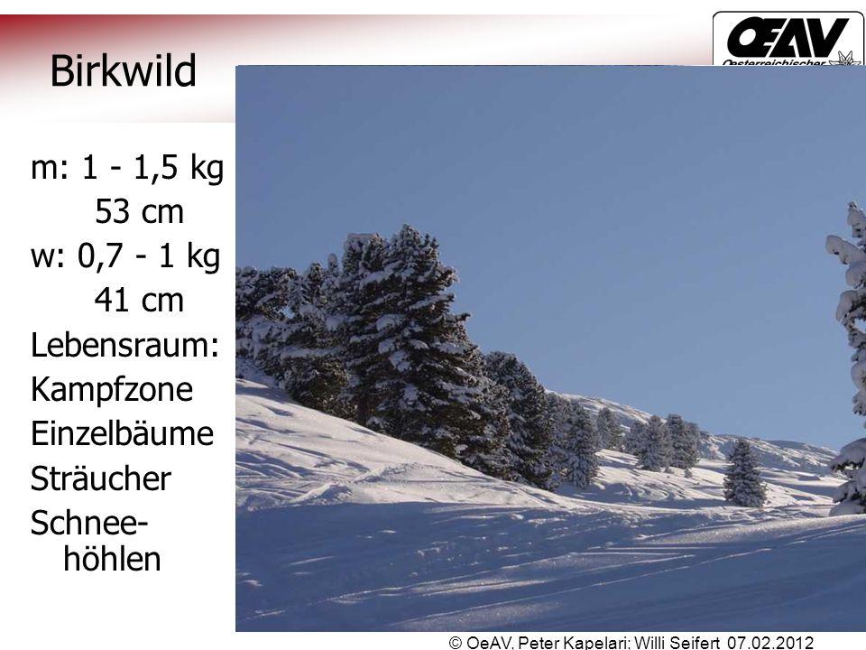 © OeAV, Peter Kapelari; Willi Seifert 07.02.2012 Birkwild m: 1 - 1,5 kg 53 cm w: 0,7 - 1 kg 41 cm Lebensraum: Kampfzone Einzelbäume Sträucher Schnee-