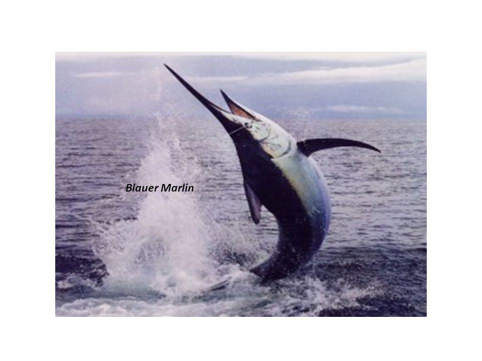 Blauer Marlin Der Blaue Marlin ist ein grosser, im Atlantik und Indopazifik lebender Raubfisch.