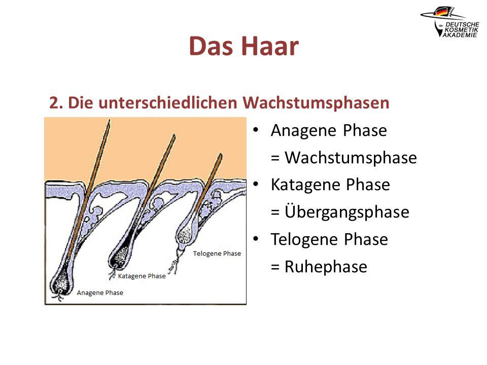 Das Haar 2. Die unterschiedlichen Wachstumsphasen Anagene Phase = Wachstumsphase Katagene Phase = Übergangsphase Telogene Phase = Ruhephase