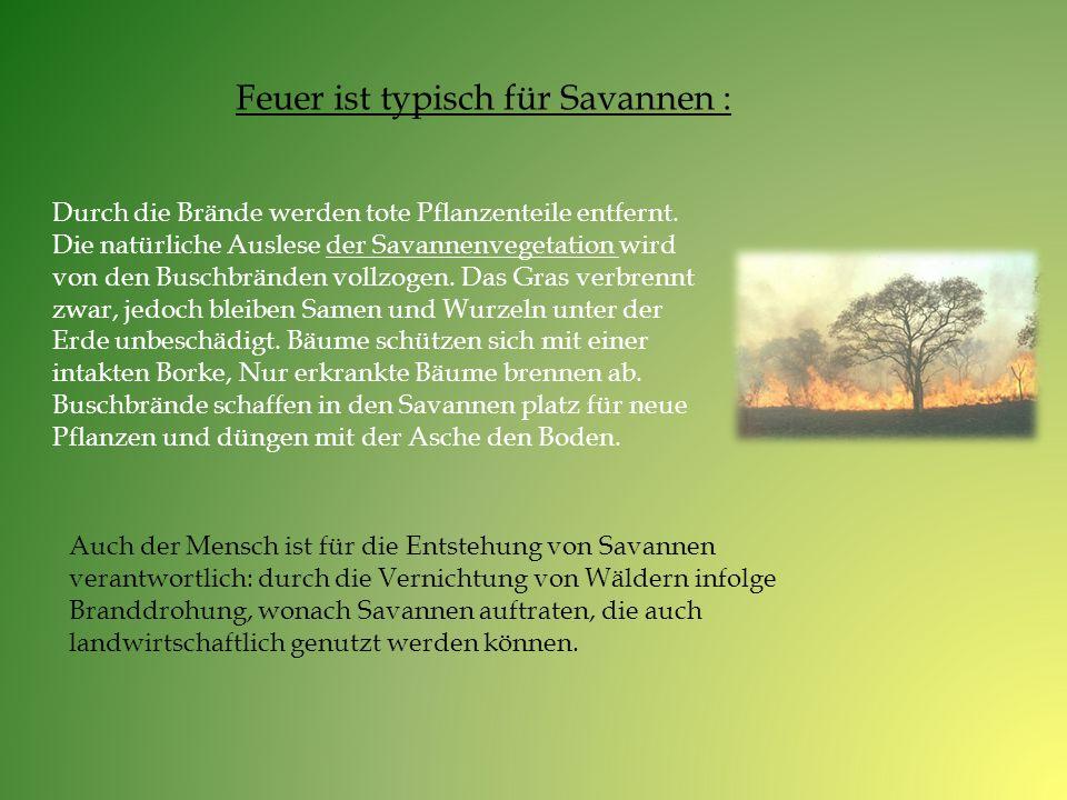 Feuer ist typisch für Savannen : Durch die Brände werden tote Pflanzenteile entfernt. Die natürliche Auslese der Savannenvegetation wird von den Busch