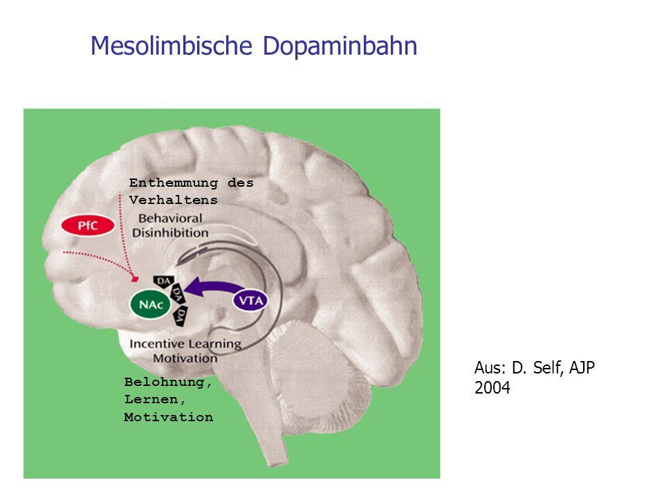 Mesolimbische Dopaminbahn Aus: D. Self, AJP 2004 Enthemmung des Verhaltens Belohnung, Lernen, Motivation