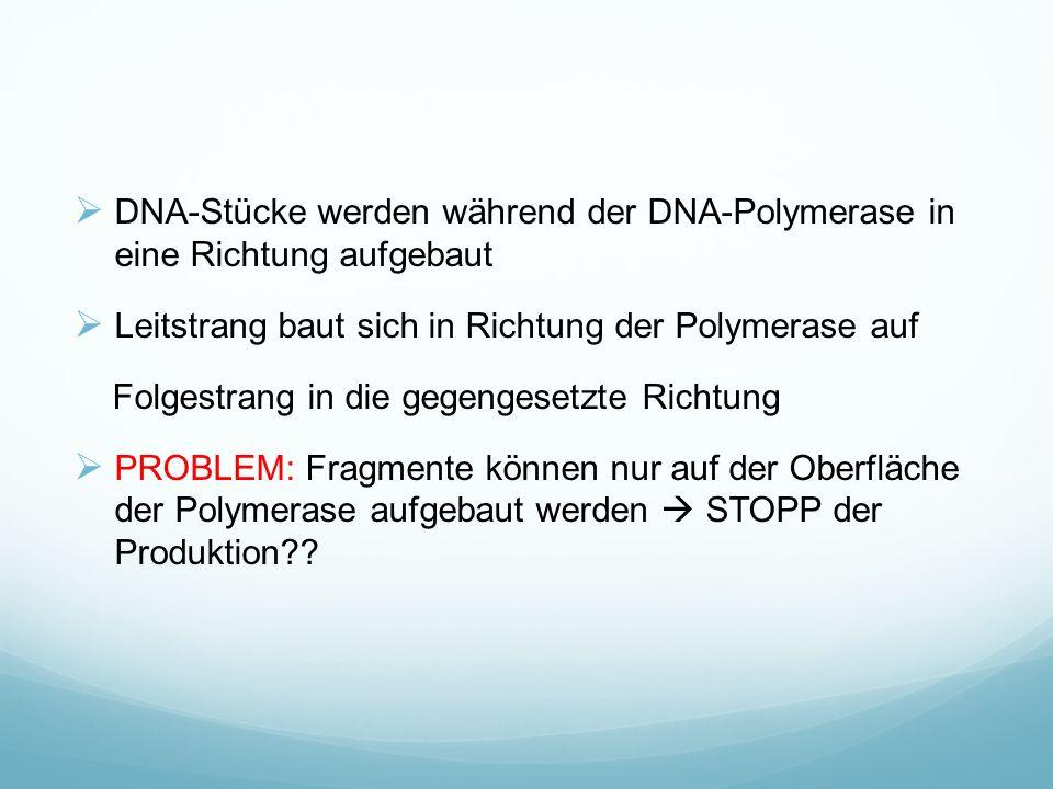  DNA-Stücke werden während der DNA-Polymerase in eine Richtung aufgebaut  Leitstrang baut sich in Richtung der Polymerase auf Folgestrang in die gegengesetzte Richtung  PROBLEM: Fragmente können nur auf der Oberfläche der Polymerase aufgebaut werden  STOPP der Produktion??