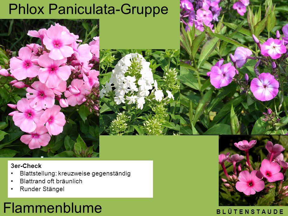 B L Ü T E N S T A U D E Phlox Paniculata-Gruppe Flammenblume 3er-Check Blattstellung: kreuzweise gegenständig Blattrand oft bräunlich Runder Stängel