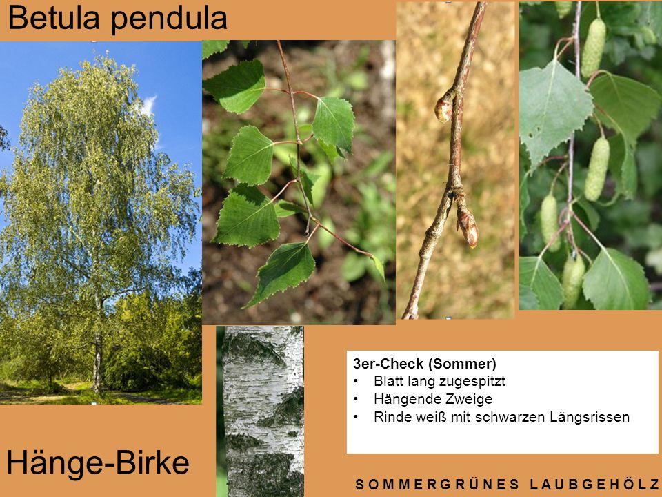 S O M M E R G R Ü N E S L A U B G E H Ö L Z Betula pendula Hänge-Birke 3er-Check (Sommer) Blatt lang zugespitzt Hängende Zweige Rinde weiß mit schwarz