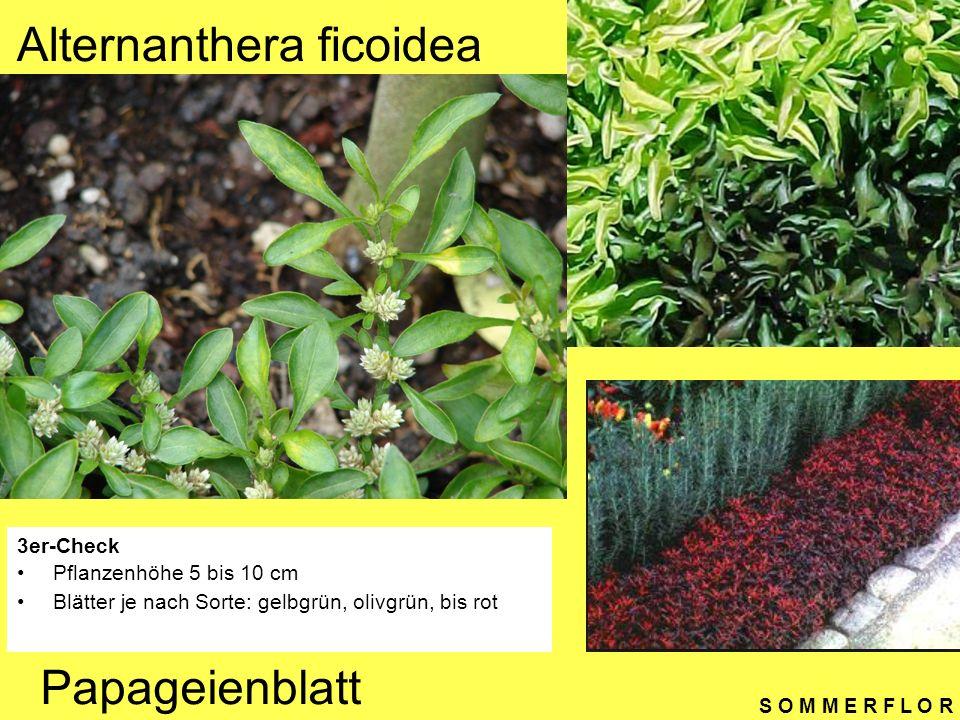 S O M M E R F L O R Alternanthera ficoidea 3er-Check Pflanzenhöhe 5 bis 10 cm Blätter je nach Sorte: gelbgrün, olivgrün, bis rot Papageienblatt