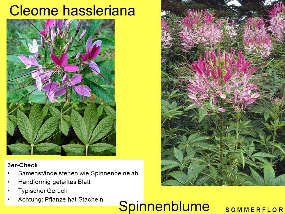 S O M M E R F L O R Cleome hassleriana 3er-Check Samenstände stehen wie Spinnenbeine ab Handförmig geteiltes Blatt Typischer Geruch Achtung: Pflanze h