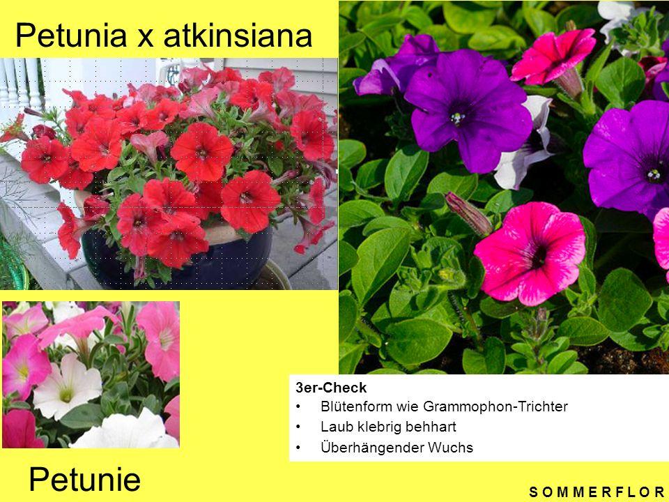 S O M M E R F L O R Zinnia elegans 3er-Check Blätter kreuzweise Drei markante gut zeichnende Blattnerven Verschiedene Blütenfarben Garten-Zinnie