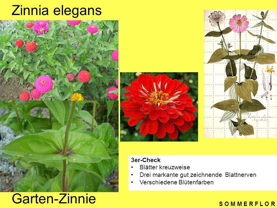 S O M M E R F L O R Gazania Cultivars Gazanie 3er-Check Blattunterseite weissfilzig Grundständige Blätter (Rosette) Blüte auf rundem Schaft