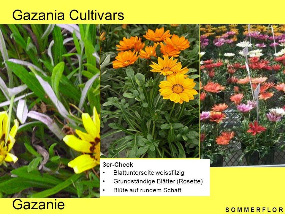 S O M M E R F L O R Salvia farinacea 3er-Check Stängel vierkantig, Stängel unter Blüte mehlig bepudert Blätter glänzend, kreuzweise gegenständig Typische Lippenblütler (Blütenform) Mehliger Salbei