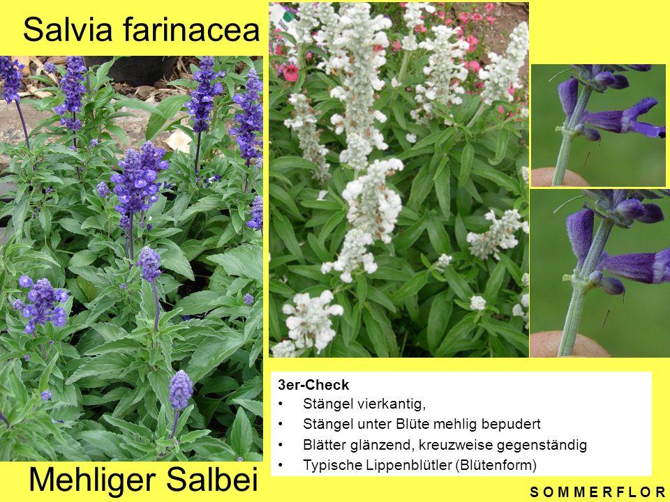 S O M M E R F L O R Salvia farinacea 3er-Check Stängel vierkantig, Stängel unter Blüte mehlig bepudert Blätter glänzend, kreuzweise gegenständig Typis