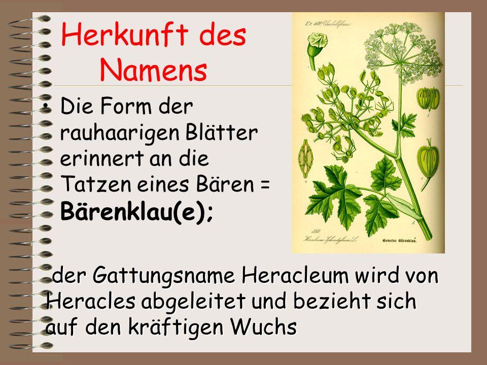 Herkunft des Namens Die Form der rauhaarigen Blätter erinnert an die Tatzen eines Bären = Bärenklau(e); der Gattungsname Heracleum wird von Heracles a