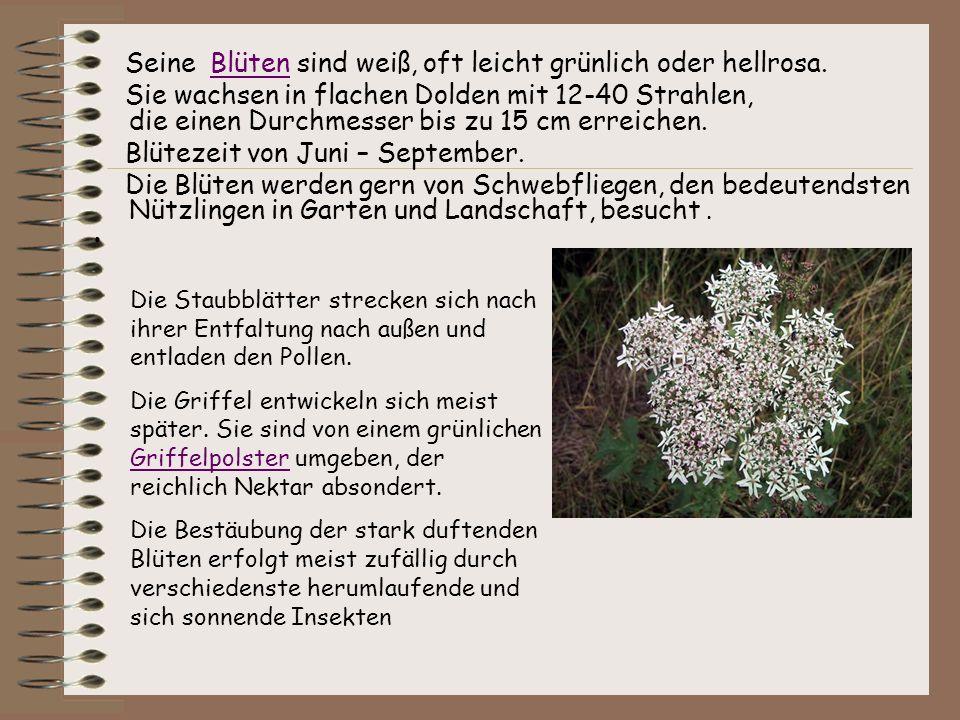 Seine Blüten sind weiß, oft leicht grünlich oder hellrosa.Blüten Sie wachsen in flachen Dolden mit 12-40 Strahlen, die einen Durchmesser bis zu 15 cm