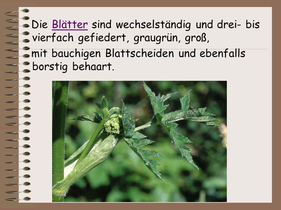 Die Blätter sind wechselständig und drei- bis vierfach gefiedert, graugrün, groß,Blätter mit bauchigen Blattscheiden und ebenfalls borstig behaart.