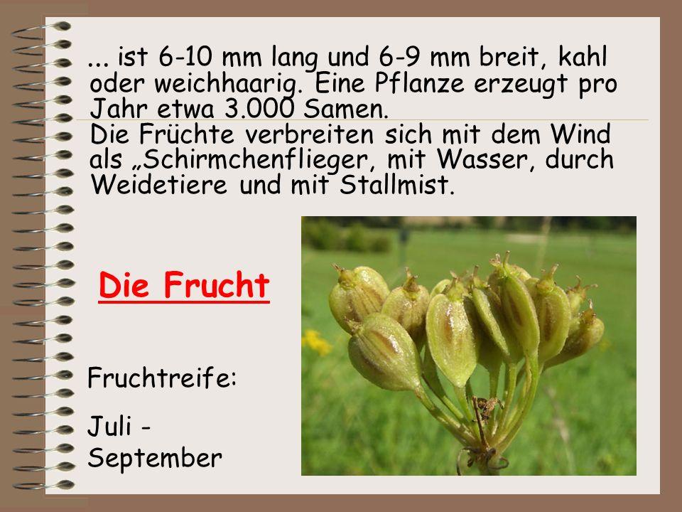 ... ist 6-10 mm lang und 6-9 mm breit, kahl oder weichhaarig. Eine Pflanze erzeugt pro Jahr etwa 3.000 Samen. Die Früchte verbreiten sich mit dem Wind