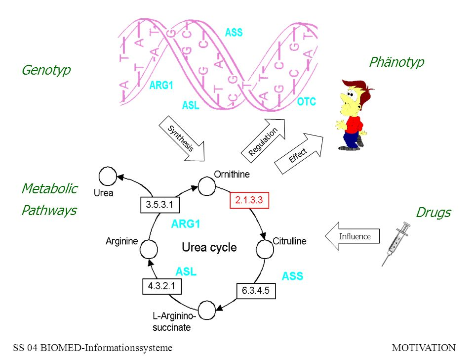 Genotyp Metabolic Pathways Phänotyp Drugs Synthesis Regulation Influence Effect SS 04 BIOMED-InformationssystemeMOTIVATION