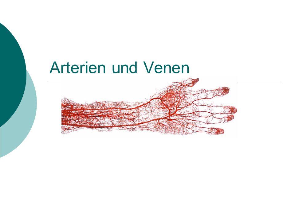 Arterien und Venen