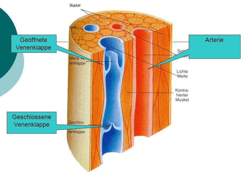 Geöffnete Venenklappe Arterie Geschlossene Venenklappe