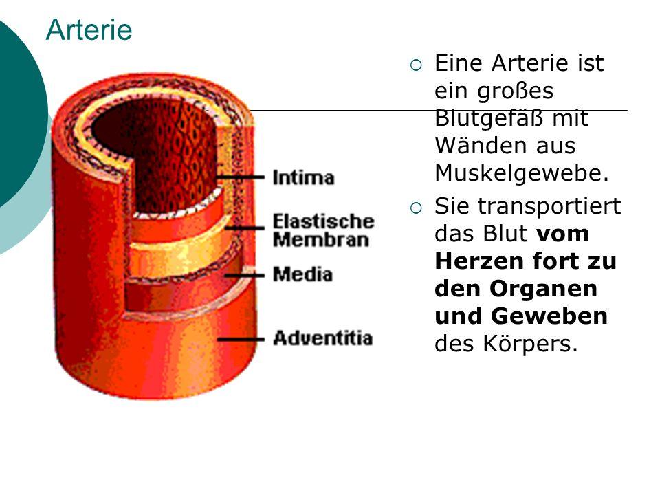 Arterie  Eine Arterie ist ein großes Blutgefäß mit Wänden aus Muskelgewebe.  Sie transportiert das Blut vom Herzen fort zu den Organen und Geweben d
