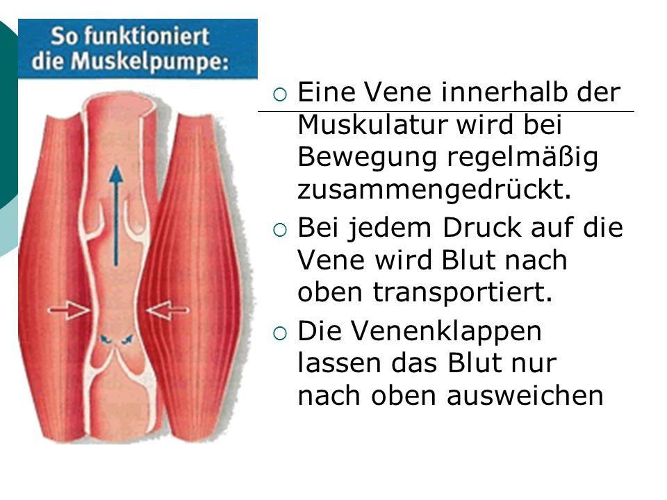  Eine Vene innerhalb der Muskulatur wird bei Bewegung regelmäßig zusammengedrückt.  Bei jedem Druck auf die Vene wird Blut nach oben transportiert.