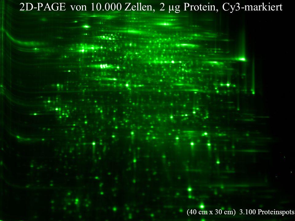 12. Arbeitstagung 2D-PAGE von 10.000 Zellen, 2 µg Protein, Cy3-markiert (40 cm x 30 cm) 3.100 Proteinspots