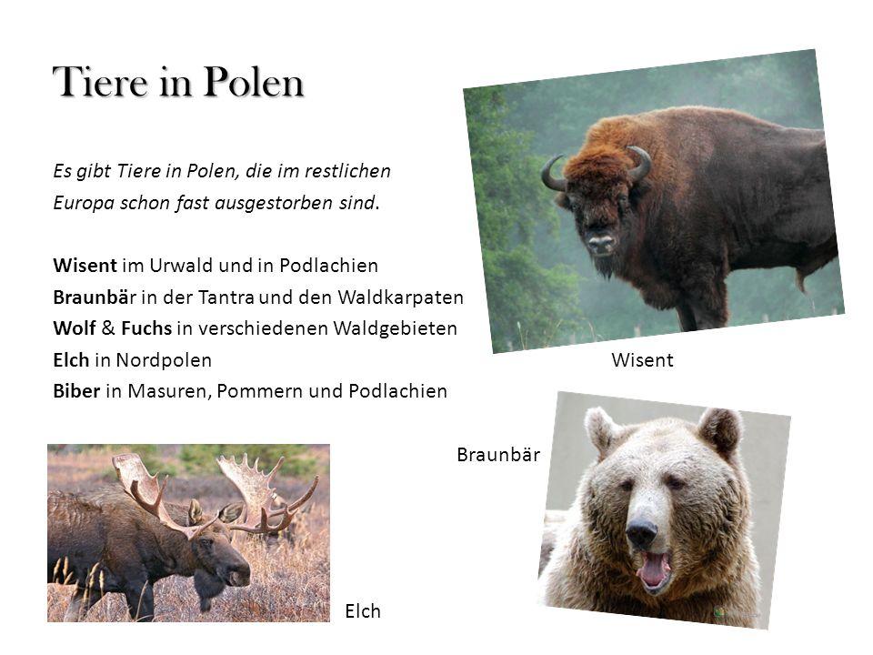 Tiere in Polen Es gibt Tiere in Polen, die im restlichen Europa schon fast ausgestorben sind. Wisent im Urwald und in Podlachien Braunbär in der Tantr