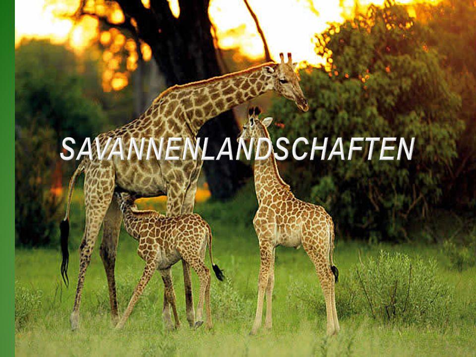 Die Savannen selbst sind Graslandschaften.Savannen bedecken rund 15 % der Festlandfläche.