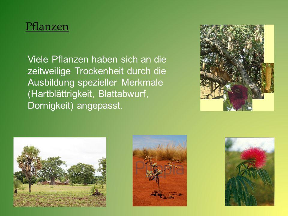 Viele Pflanzen haben sich an die zeitweilige Trockenheit durch die Ausbildung spezieller Merkmale (Hartblättrigkeit, Blattabwurf, Dornigkeit) angepass