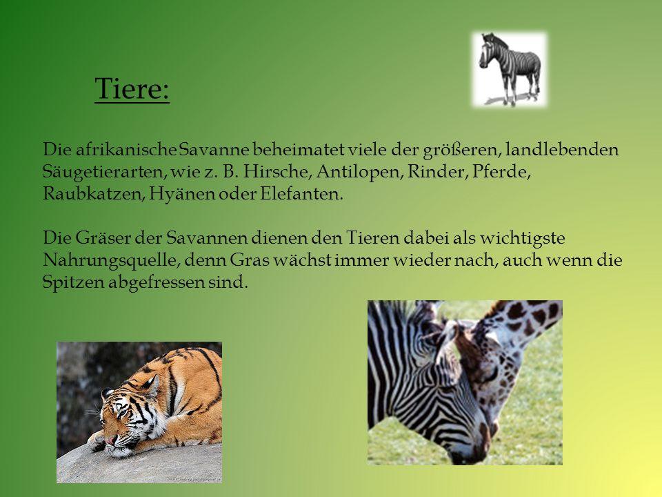 Die afrikanische Savanne beheimatet viele der größeren, landlebenden Säugetierarten, wie z. B. Hirsche, Antilopen, Rinder, Pferde, Raubkatzen, Hyänen