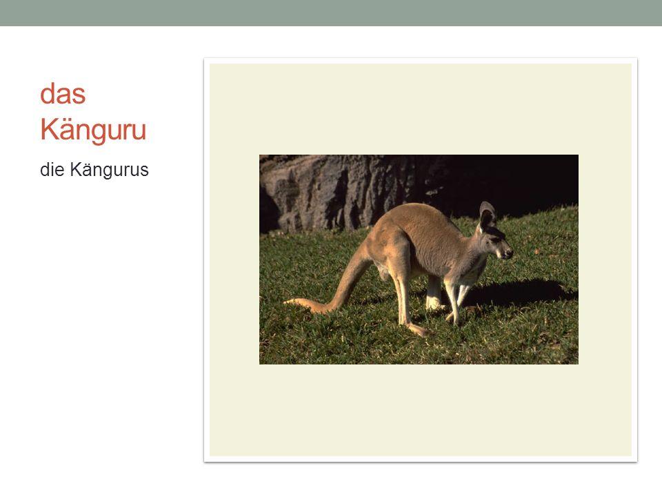 das Känguru die Kängurus