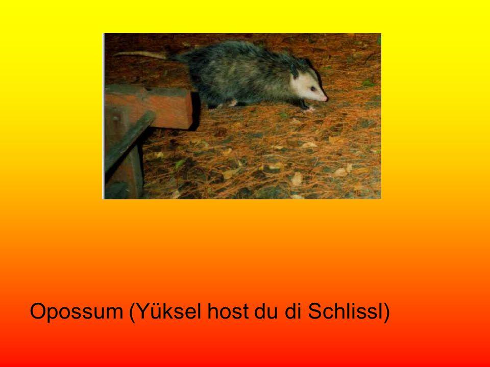 Opossum (Yüksel host du di Schlissl)