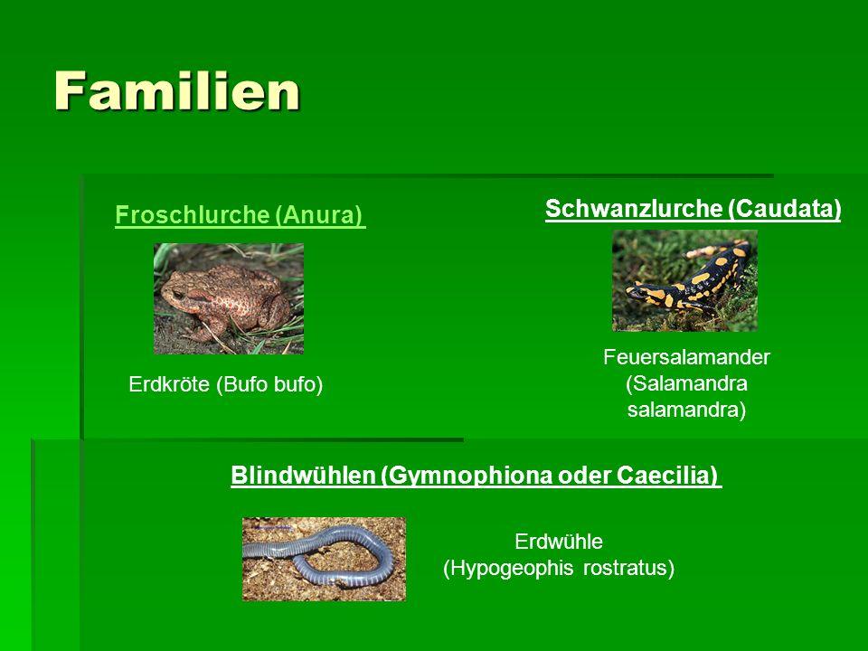Familien Froschlurche (Anura) Schwanzlurche (Caudata) Blindwühlen (Gymnophiona oder Caecilia) Erdwühle (Hypogeophis rostratus) Feuersalamander (Salamandra salamandra) Erdkröte (Bufo bufo)