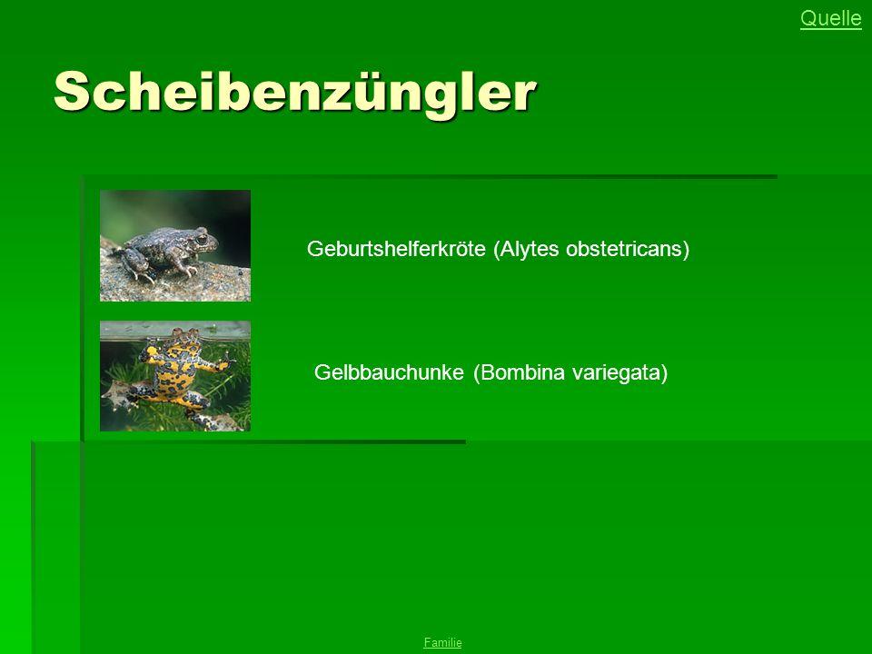 Scheibenzüngler Gelbbauchunke (Bombina variegata) Geburtshelferkröte (Alytes obstetricans) Familie Quelle