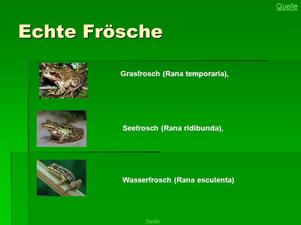 Echte Frösche Grasfrosch (Rana temporaria), Seefrosch (Rana ridibunda), Quelle Wasserfrosch (Rana esculenta) Familie
