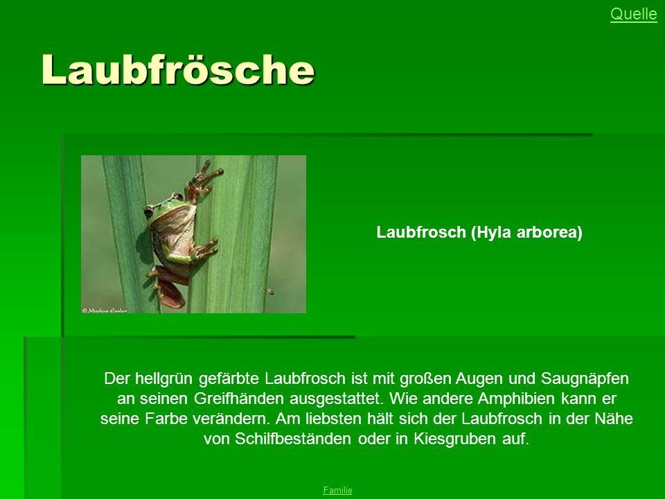 Laubfrösche Laubfrosch (Hyla arborea) Quelle Familie Der hellgrün gefärbte Laubfrosch ist mit großen Augen und Saugnäpfen an seinen Greifhänden ausgestattet.