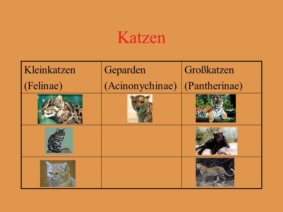 Katzen Kleinkatzen (Felinae) Geparden (Acinonychinae) Großkatzen (Pantherinae)