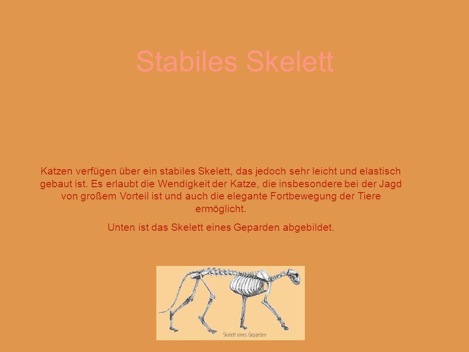 Katzen verfügen über ein stabiles Skelett, das jedoch sehr leicht und elastisch gebaut ist.