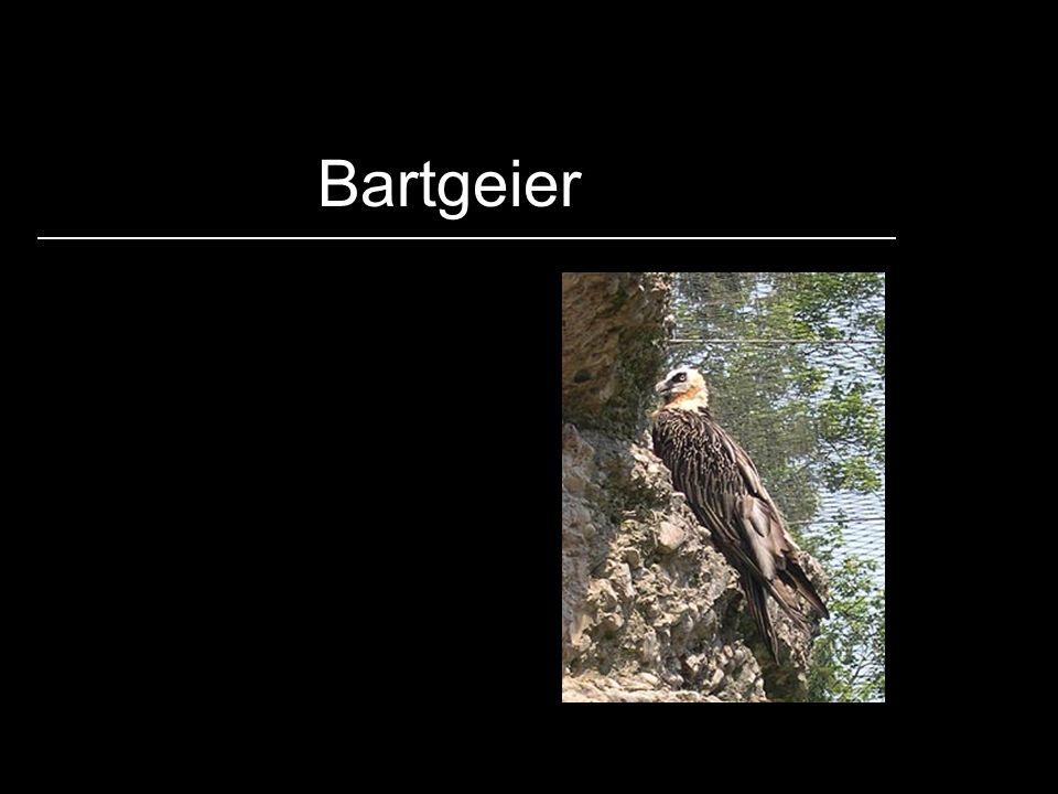 Bartgeier