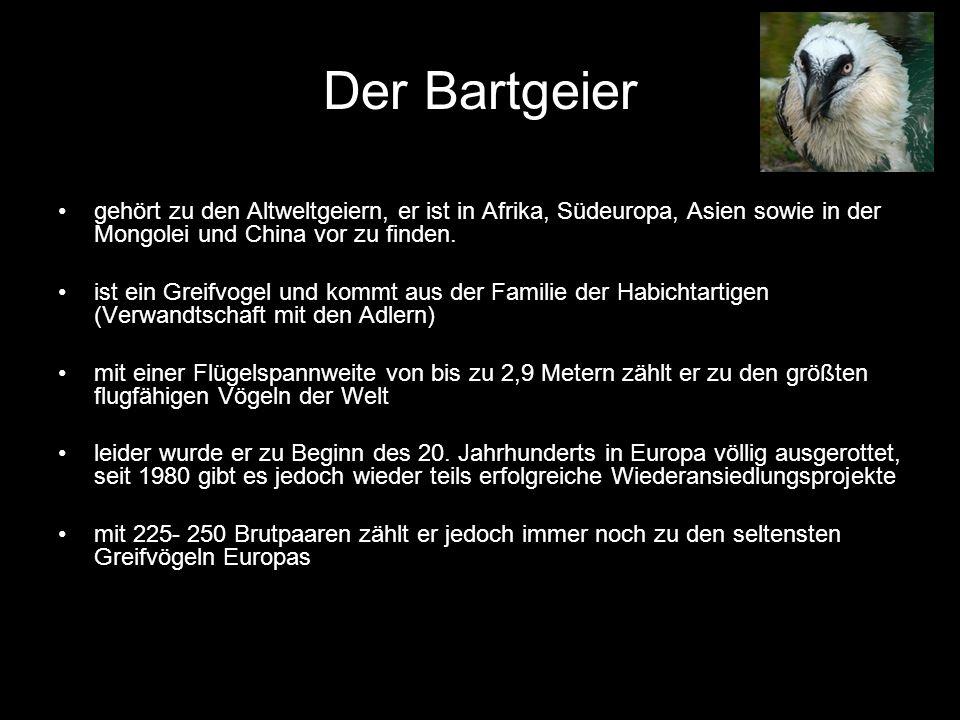 Der Bartgeier gehört zu den Altweltgeiern, er ist in Afrika, Südeuropa, Asien sowie in der Mongolei und China vor zu finden.