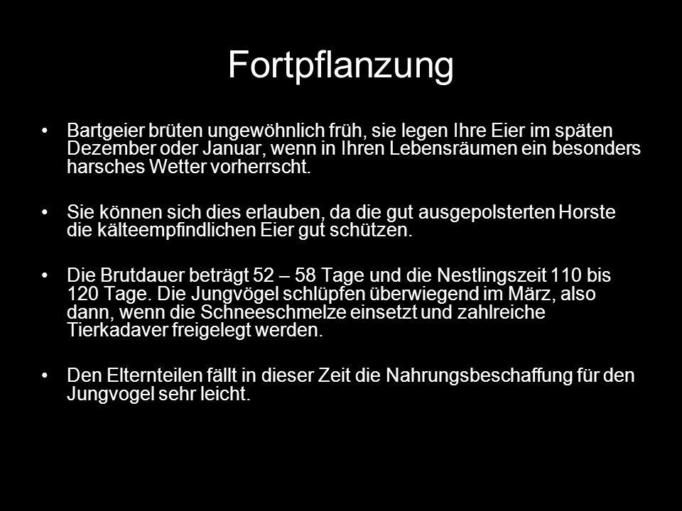 Wiederansiedlung Angeregt durch die Zuchterfolge im Innsbrucker Alpenzoo 1973 bildete sich eine internationale Gruppe mit dem Ziel der Wiederansiedelung des Bartgeiers durch Auswilderung in den Alpen 1986 wurden im Nationalpark Hohe Tauern 10 Wochen alte noch flugunfähige Jungtiere in einem künstlichen Horst ausgesetzt und bis zum Erstflug Menschenkontakt gefüttert.