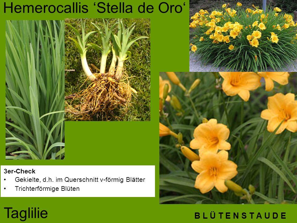 B L Ü T E N S T A U D E Hemerocallis 'Stella de Oro' Taglilie 3er-Check Gekielte, d.h. im Querschnitt v-förmig Blätter Trichterförmige Blüten