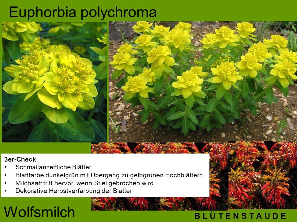 B L Ü T E N S T A U D E Euphorbia polychroma Wolfsmilch 3er-Check Schmallanzettliche Blätter Blattfarbe dunkelgrün mit Übergang zu gelbgrünen Hochblät