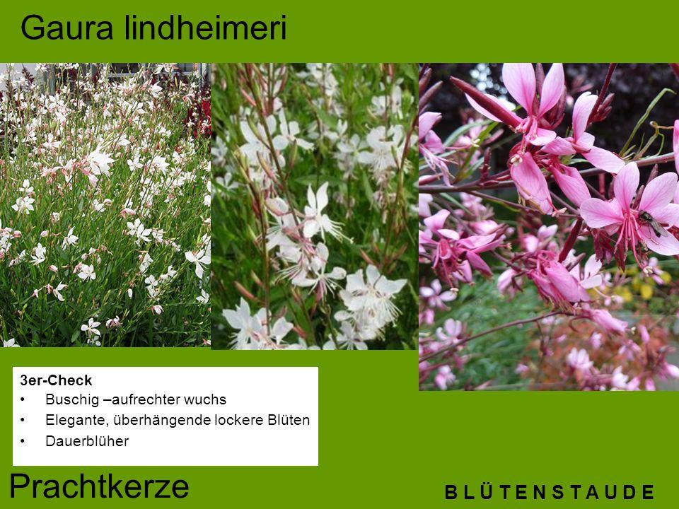 B L Ü T E N S T A U D E Gaura lindheimeri Prachtkerze 3er-Check Buschig –aufrechter wuchs Elegante, überhängende lockere Blüten Dauerblüher