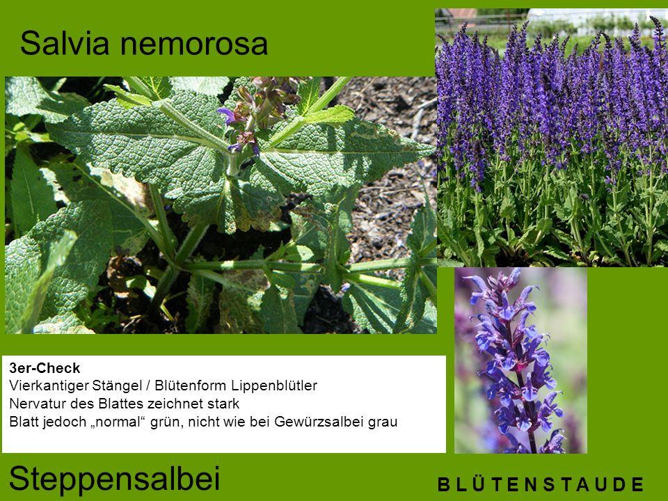 B L Ü T E N S T A U D E Salvia nemorosa Steppensalbei 3er-Check Vierkantiger Stängel / Blütenform Lippenblütler Nervatur des Blattes zeichnet stark Bl